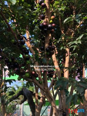 Cherry mới tại Việt Nam