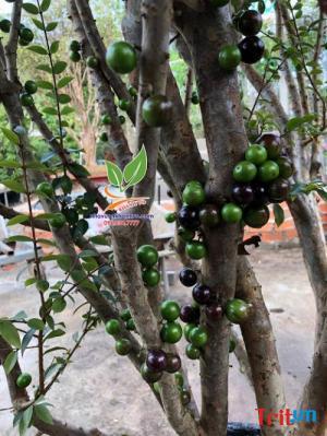 Nơi bán cây nho thân gỗ đẹp có trái
