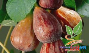 Sung Mỹ -Cây trồng ăn quả độc đáo!!!