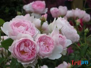 muaban.trit.vn Điểm danh các loại hoa hồng ngoại trên thế giới đẹp mê mẩn